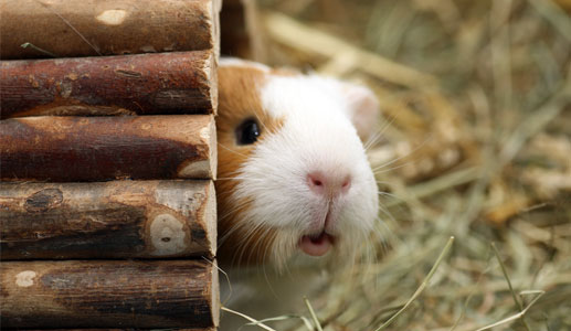 Guinea pig poking out of a log