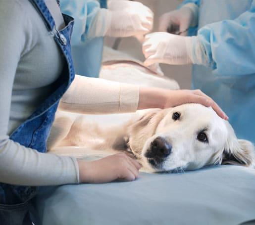 White golden retriever getting surgery
