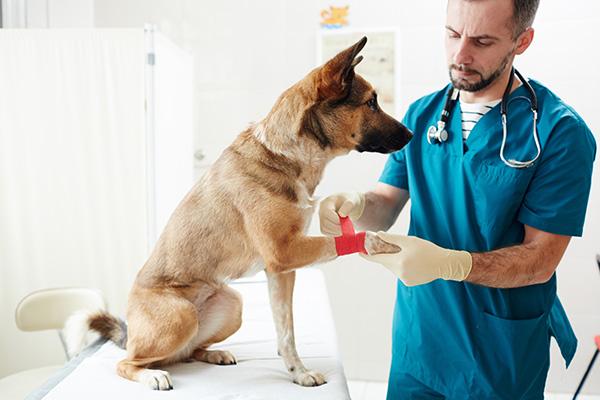 vet treating a dog