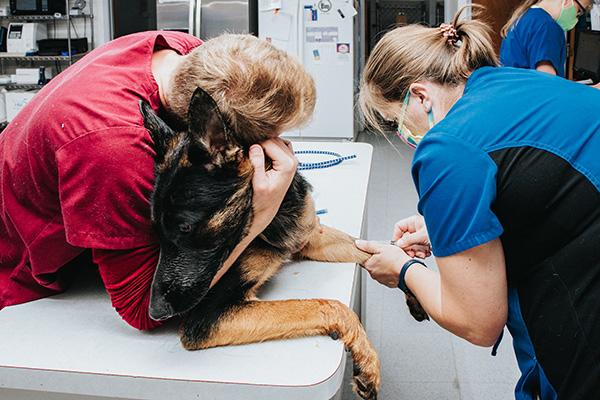 dog undergoing minor surgery