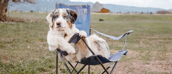 Dog in Camping Chair